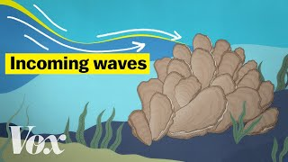 How oysters can stop a flood