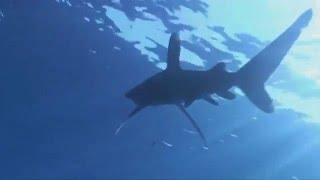 Акула Шарм Эль Шейх остров Тиран