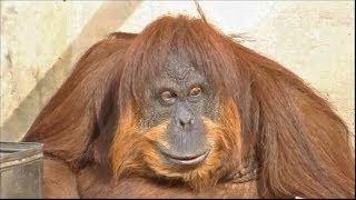 絶滅危惧種オランウータン/東山動物園動きが人間のようです笑