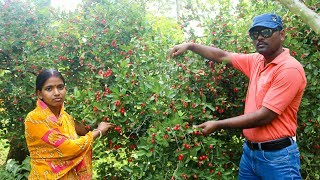 Karonda Fruit Harvesting in India - Carissa Carandas Garden Tour in Hindi - Karanda Harvesing
