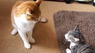 猫の威嚇 - Cat Fight -