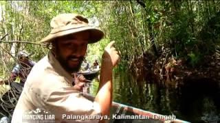 Berburu Emperor Snakehead di Spot Liar Hutan Kalimantan - Mancing Liar (24/7)