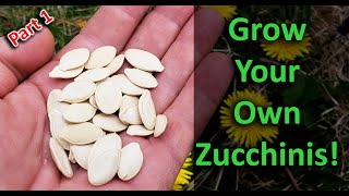 Growing Zucchinis The Right Way - Part 1 of 3