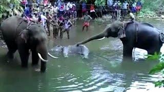 India, elefantessa incinta uccisa con un ananas esplosivo