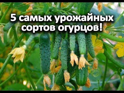 5 самых урожайных сортов огурцов!