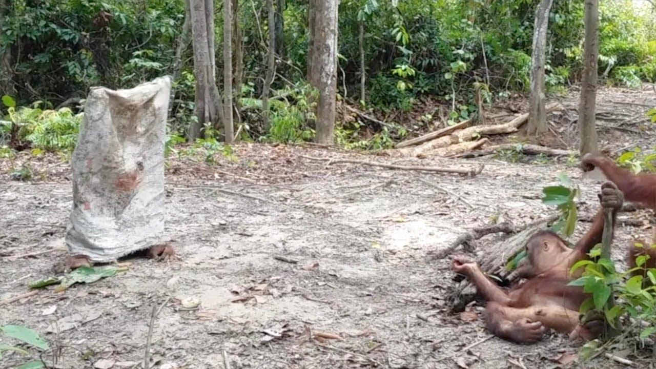 Орангутанг надел на голову мешок и пугает сородичей