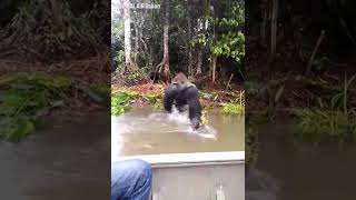 Gorilla Splashes Tourists