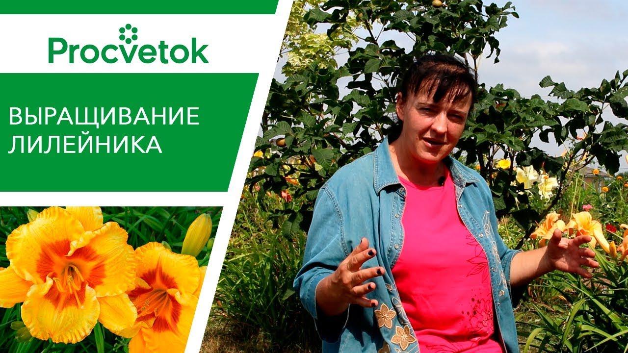 Выращивание лилейника: особенности, уход до и после цветения