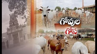 Cows in Pathetic Stage at Goshala   Struggle for Survival Organizers Seek Help @ Shankarpalli