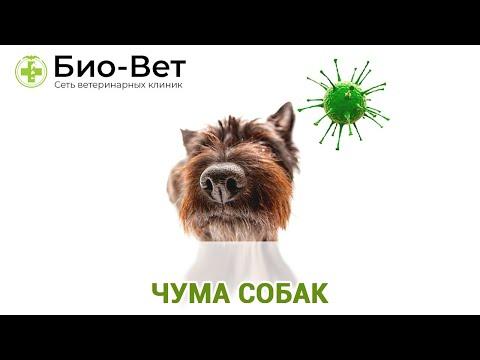 Чума Собак - Симптомы и Лечение // Сеть Ветклиник БИО-ВЕТ