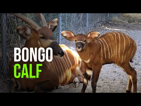 Critically Endangered Eastern Bongo Born in Florida