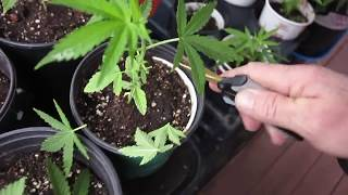 """PRUNING CANNABIS """" THE SPIRAL TECHINQUE """" THE BIGKUSH SEVEN LEAF GENETICS"""