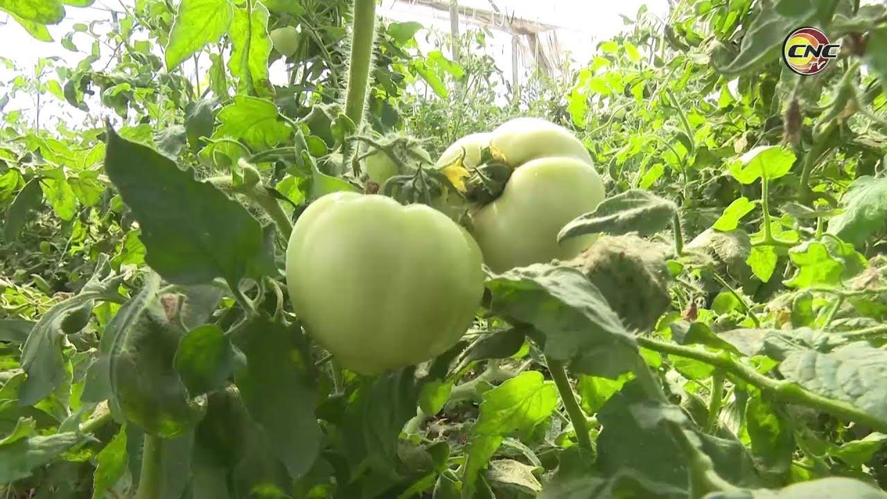 UEB en Pilón alcanza mayores rendimientos agrícolas