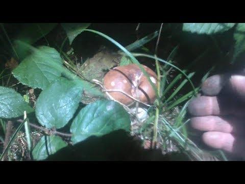 Пішли молоді білі гриби в карпатах.Пошли молодые белые грибы в Карпатах.