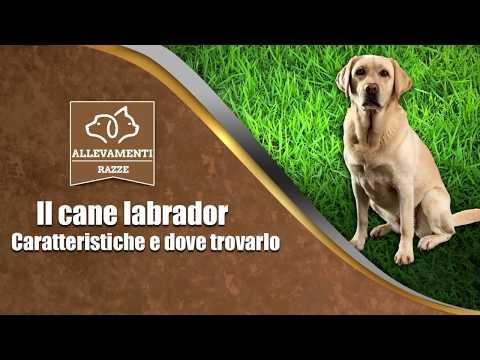 Labrador - Caratteristiche e dove trovarlo - Documentario