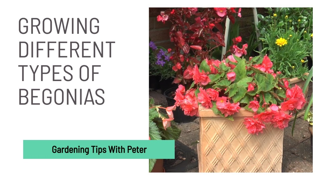 Growing Different Types of Begonias