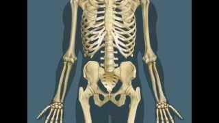 Как мы устроены.Кости скелета