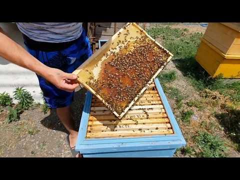 КАК ПОДСАДИТЬ  ПЛОДНУЮ МАТКУ в клеточке Титова - где пчелосемья после искусственного роения.июнь.