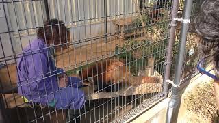 レッサーパンダの『テル』市川市動植物園2018年3月4日