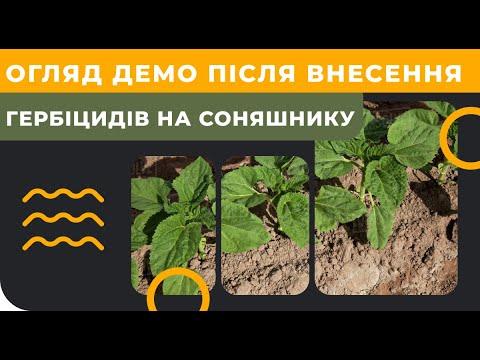 Обзор ДЕМО после внесения гербицидов на подсолнечнике