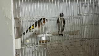 Goldfinch Male is Ready But female is not