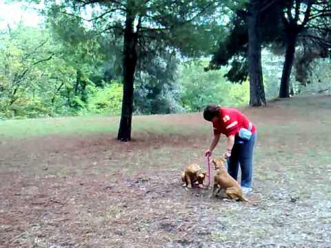 Due cuccioli al guinzaglio. Aaron e Shiva alla 4 lezione.
