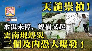 7.13 【天譴崇禎!】水災未停,蝗禍又起,雲南現蝗災,三個及內恐大爆發!