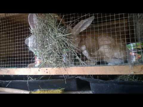 Вот это бутузы в 8 дней,начинаем расселение крольчат.