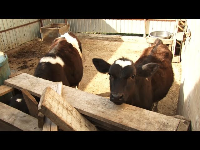 3 000 рублей за бесхозную корову