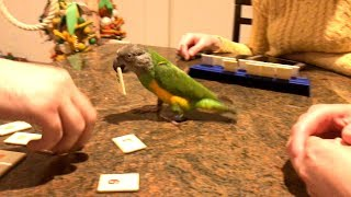 Kili Senegal Parrot - Participating in a Family Board Game