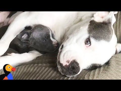 Scared Pregnant Pit Bull Learns to Trust Through Cuddles | The Dodo