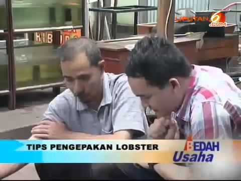 Video Budidaya Lobster Hias, Laba Jutaan Per Bulan