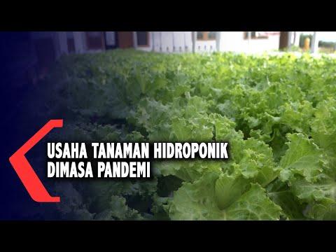 usaha tanaman hidroponik dimasa pandemi