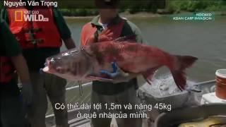 Thảm họa cá Mè ở Mỹ