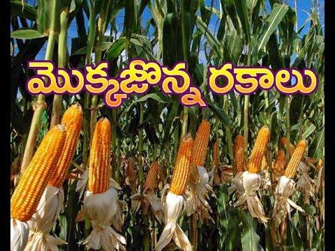 Maize in Kolkata - Latest Price & Mandi Rates from Dealers in Kolkata