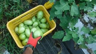 「今日ほどあなたと百姓一揆!」~旬の有機野菜収穫編@白丸なす後半戦収穫