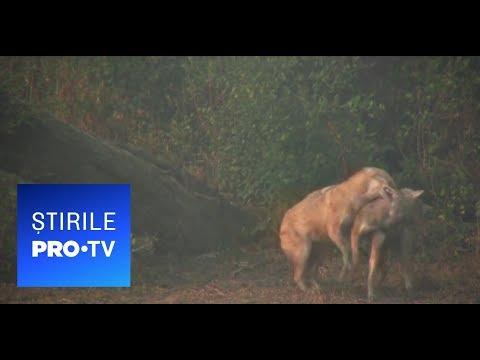 Stirile PRO TV - Fiara care a ajuns in Romania si s-a inmultit necontrolat. A facut masacru in Delta