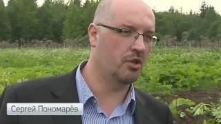 Сельскохозяйственный спецназ: топинамбур высадили для борьбы с борщевиком