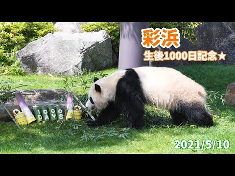 【ジャイアントパンダ「彩浜(さいひん)」】1000日齢を迎えました!