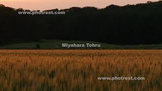 夏の麦畑の夕景