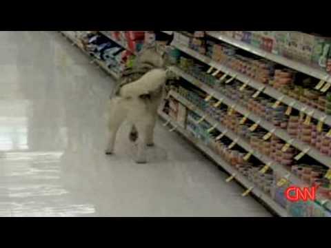 The Shoplifting Siberian Husky Siberian Huskies