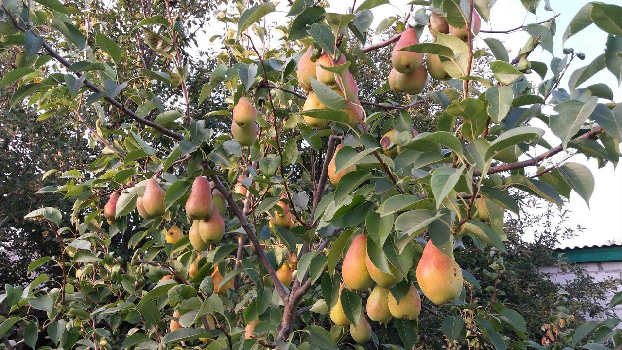 Очень урожайный сорт груши / урожай каждый год! ТАЛГАРСКАЯ КРАСАВИЦА !!!