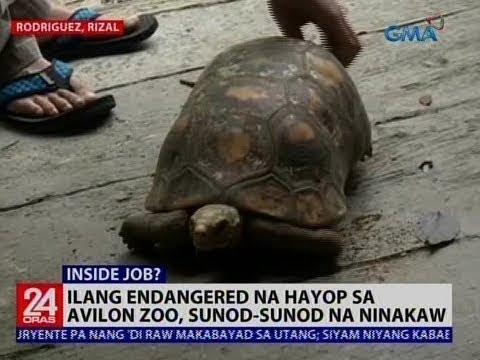 [GMA]  24 Oras: Ilang endangered na hayop sa Avilon Zoo, sunod-sunod na ninakaw