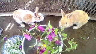 【人間が食べられる野草】ホタルブクロを食べるウサギ