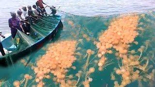 Wow ! BIG Net Catch Jelly Fish All Around