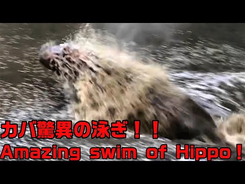 カバ迫力の泳ぎ!Fast & powerful swim of Hippo!