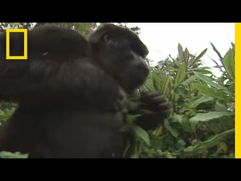 How to Survive a Gorilla Charge | National Geographic