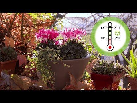 Indiaka Cyclamen Care Tips for Busy Gardeners thumbnail