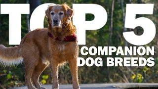 Top 5 Companion Dog Breeds