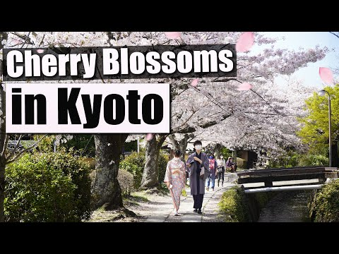 "Best places to see the CHERRY BLOSSOMS in Kyoto - incl. ""Philosopher's walk"" & ""Heian Garden""!!!"